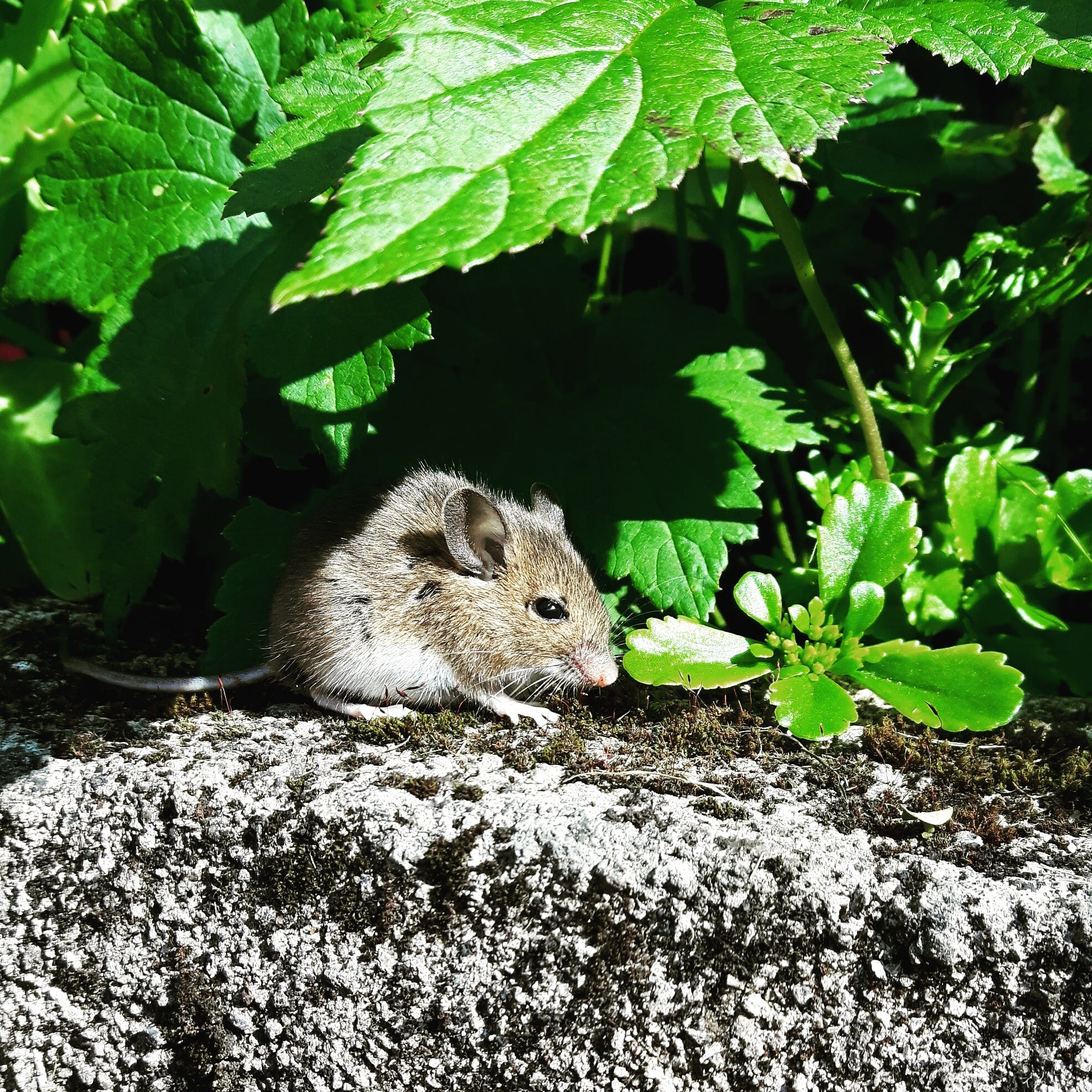 Brown Rat on Gray Concrete Structure Near Green Green Leafed Plants