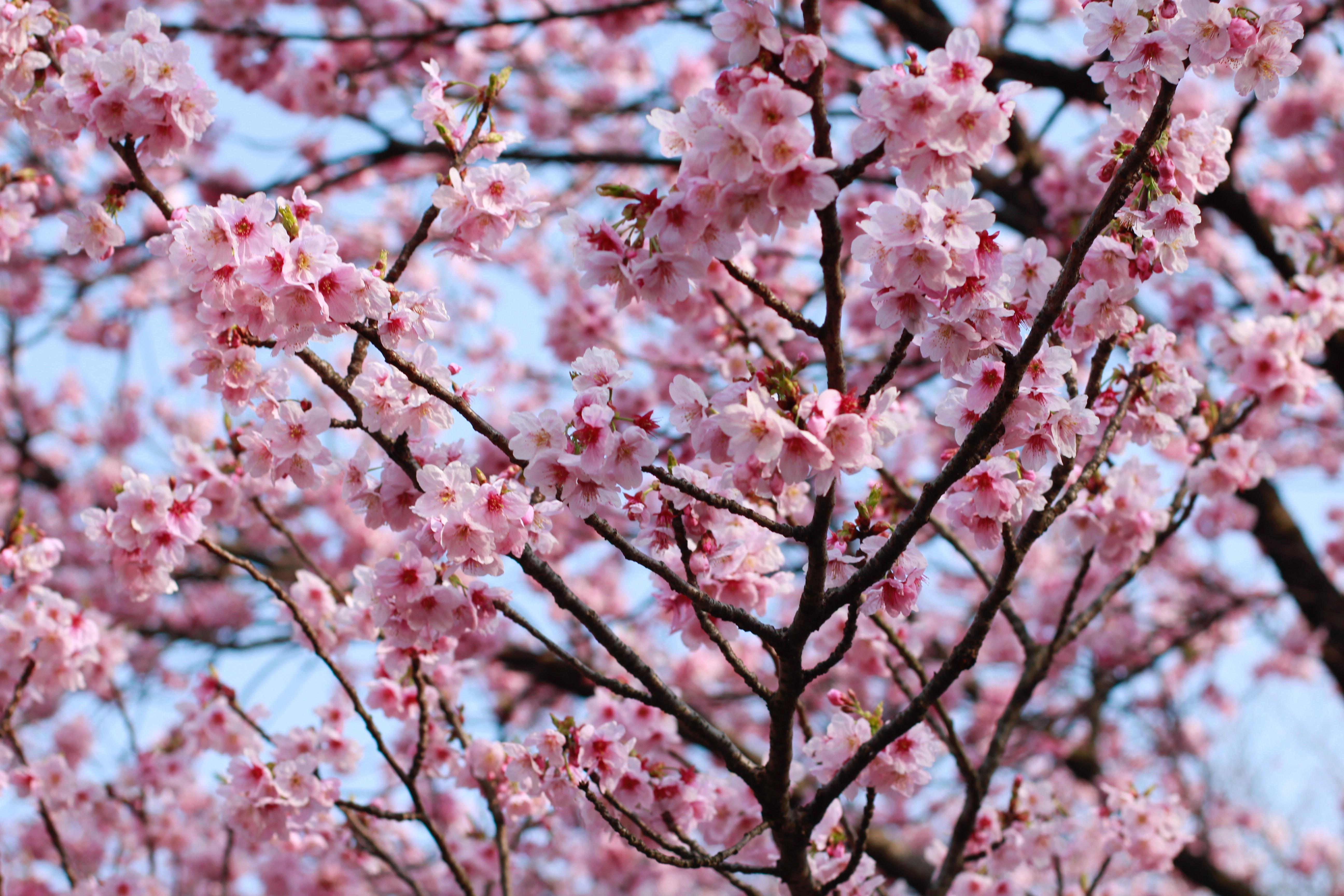 Free Stock Photo Of Beautiful Flowers Cherry Blossom Japan