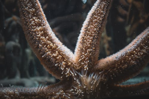 Starfish with soft papulas on arms