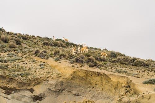Kostenloses Stock Foto zu alpakas, berg, gras, himmel