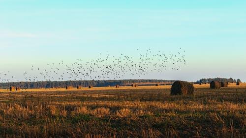 Flock of Birds Flying over Brown Grass Field