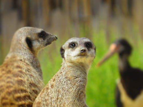 Wildlife Photography of Meerkat
