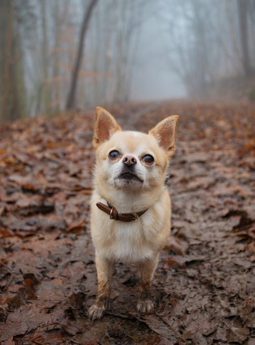 Chihuahua Standing On Mud