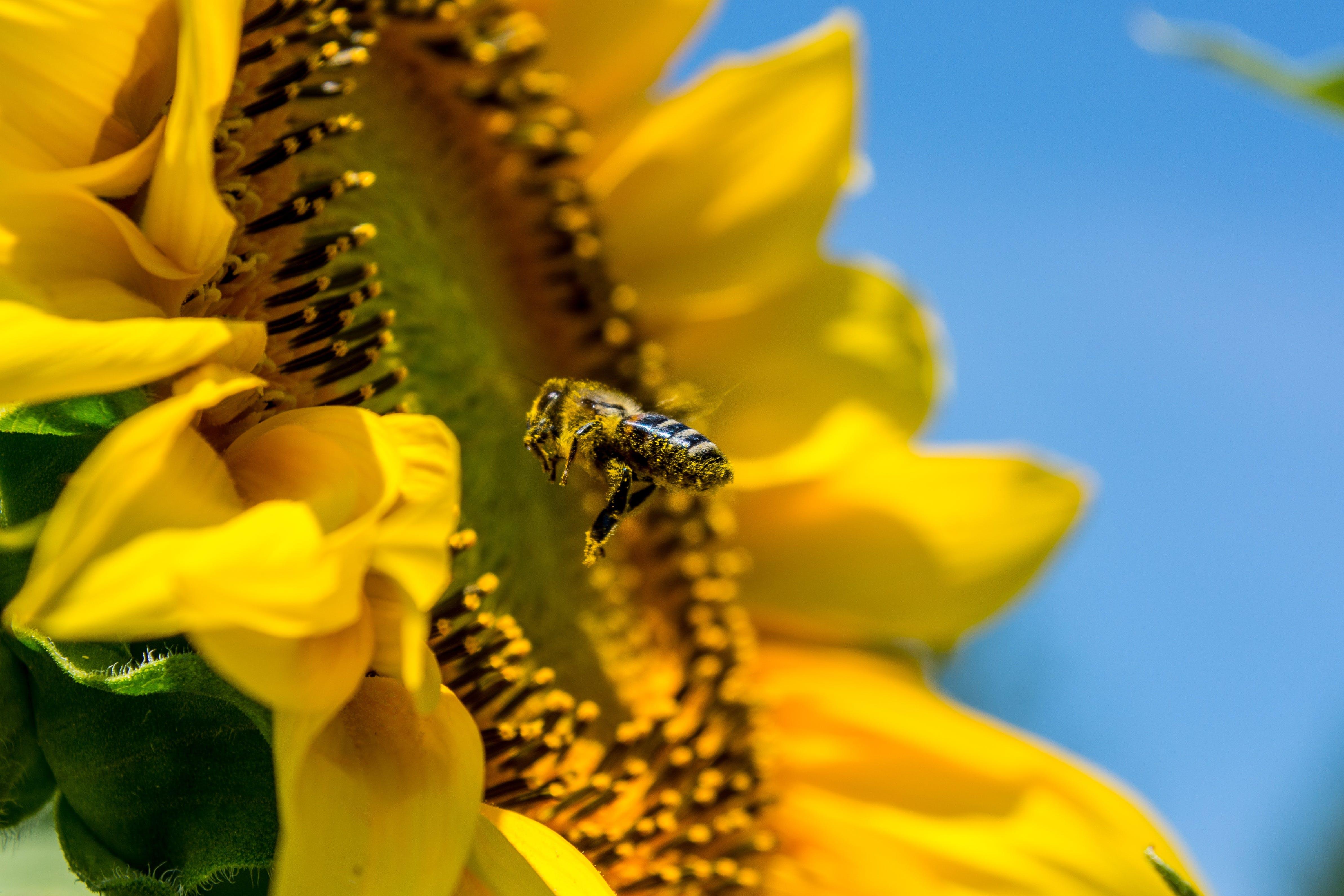 Macro Photo of Honey Bee Flying Near Yellow Flower