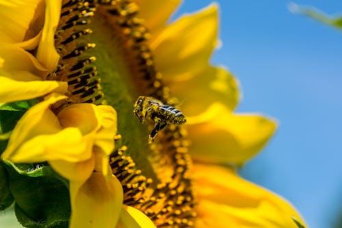 Ingyenes stockfotó gyár, méh, napraforgó, rovar témában