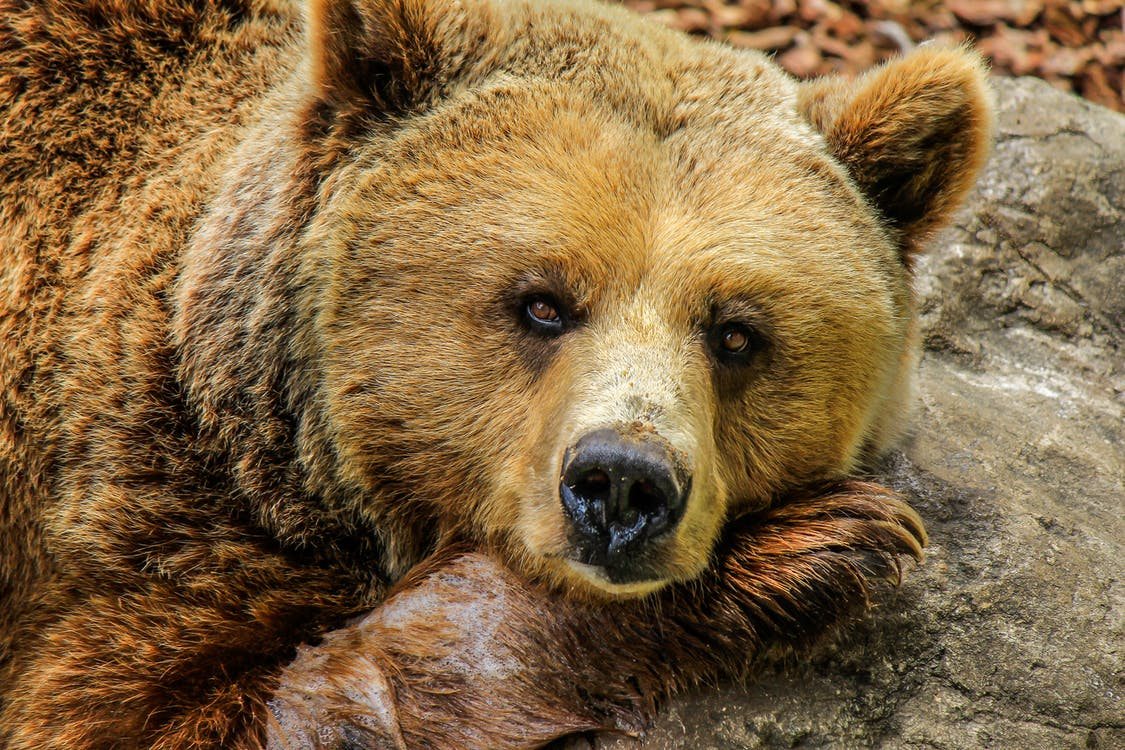 Close-up Photography of Brown Bear on Gray Rock