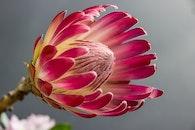 plant, flower, pink