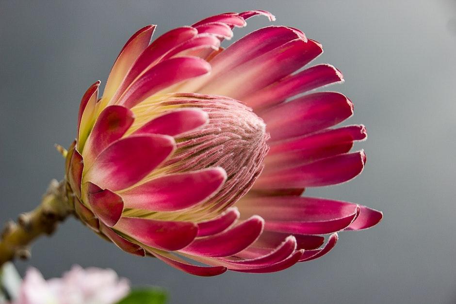 اجمل خلفيات ورود 2017,اجمل الخلفيات ورد حمراء جديدة رومانسية طبيعية للكمبيوتر لعشاق protea-bloom-flower-