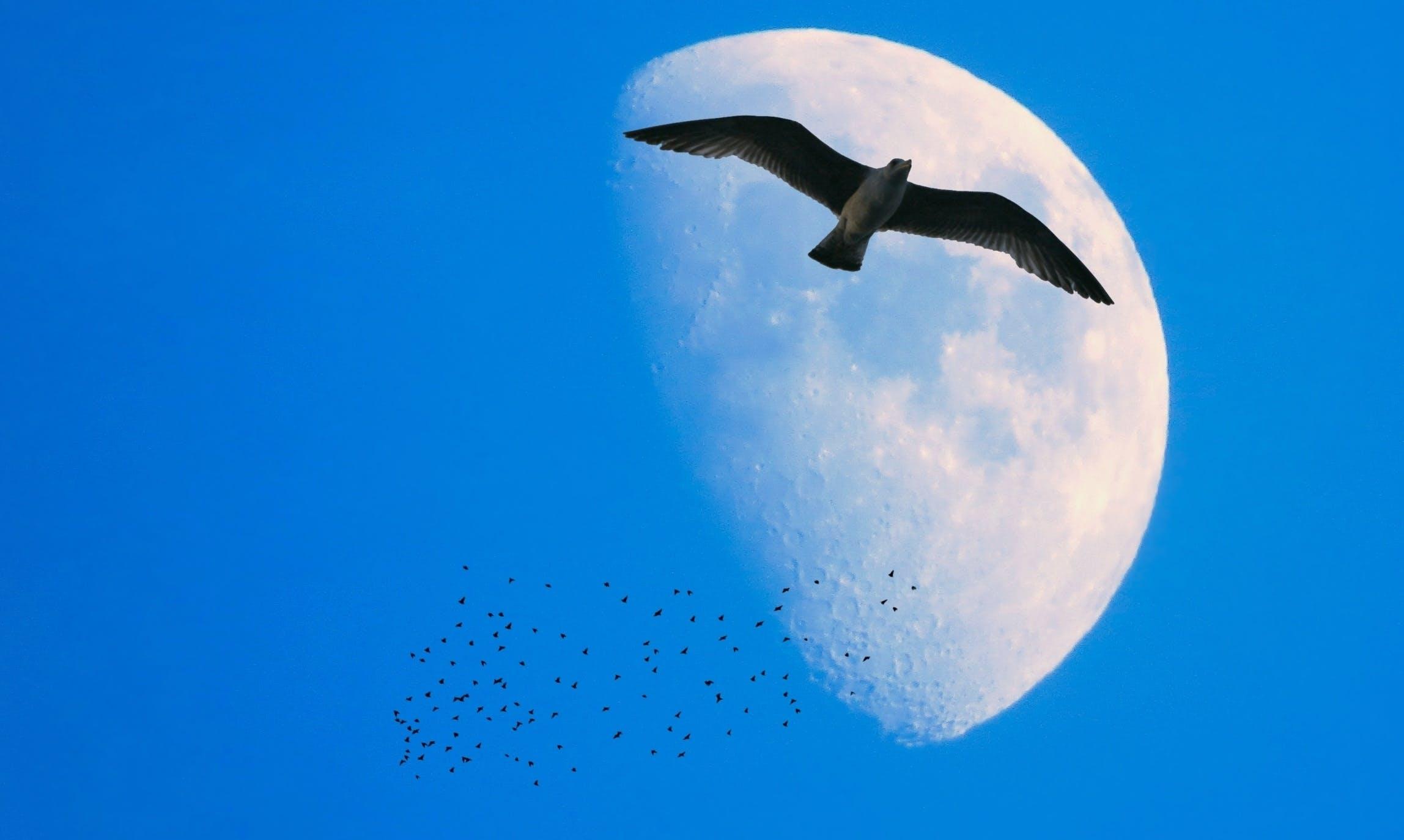 Free stock photo of aves, bird, lua, moon