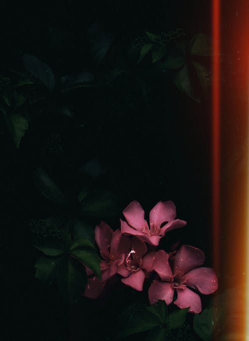 nerium oleander, オーガニック, カラフル, コピースペースの無料の写真素材