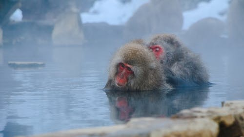 動物攝影, 可愛, 哺乳動物, 地獄谷 的 免費圖庫相片