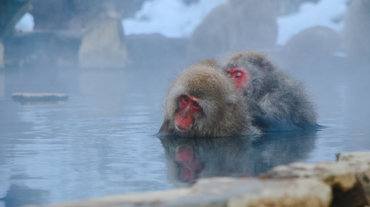 Two Monkeys Partially Submerged in Water
