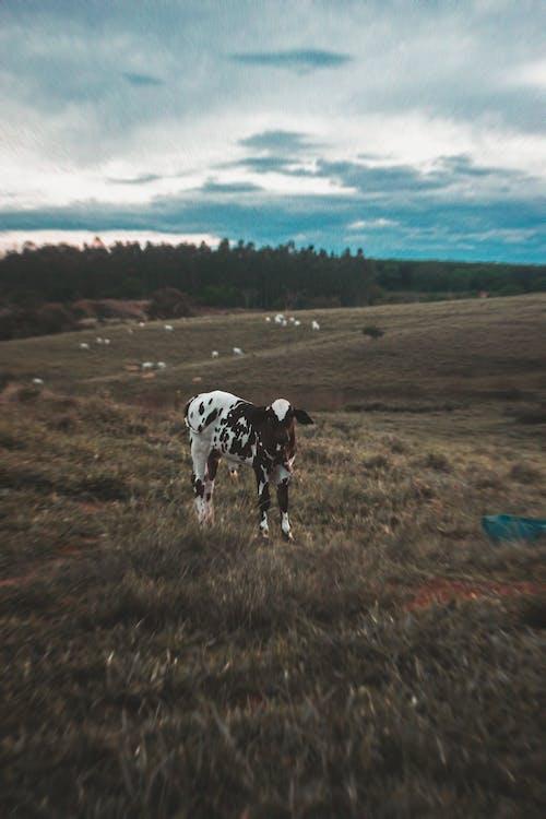Free stock photo of Almond Farm, animal, brasil, bull