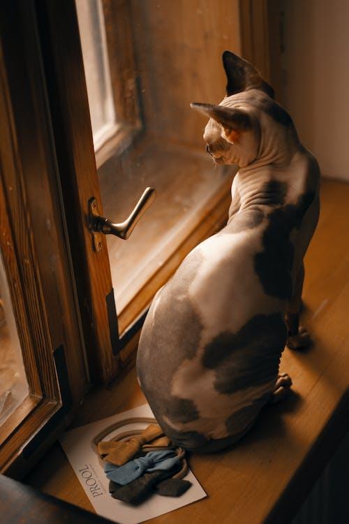 インドア, ウィンドウペイン, ガラスの窓, スフィンクス猫の無料の写真素材
