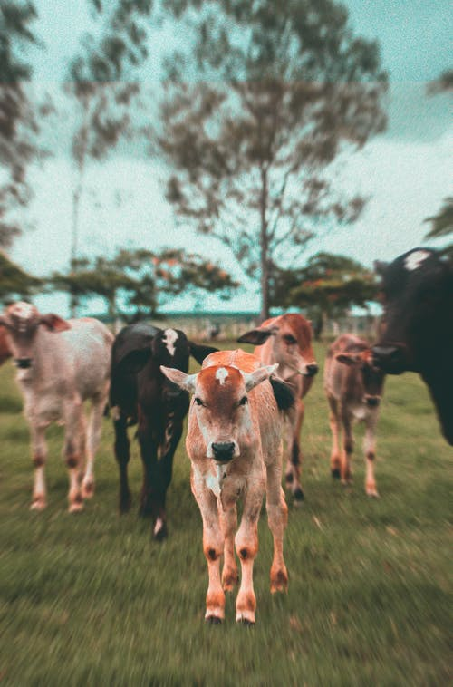 Free stock photo of animal, bull, country estate, cow