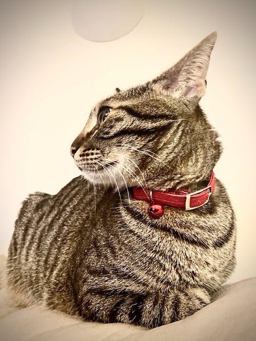 Free stock photo of bicolor cat, big cat, cat, pet