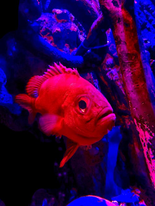 Free stock photo of aquarium, aquatic, blue and red, colourful