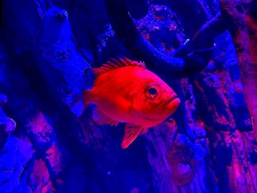 Free stock photo of aqua, aquatic, blue and red, catching fish