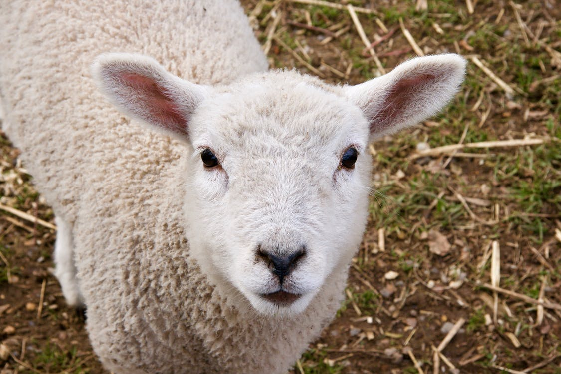 close-up, lamb, sheep