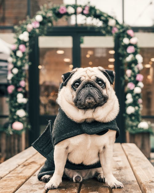 A Wrinkly Pug Sitting in a Wooden Table