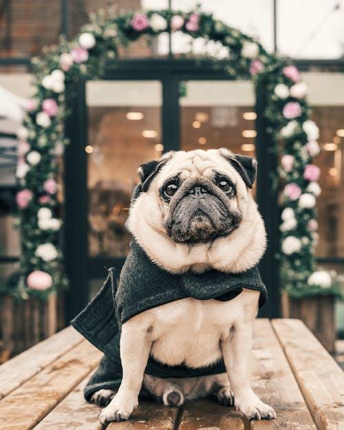 Fotos de stock gratuitas de abrigo, accesorios, accesorios para perros, adular