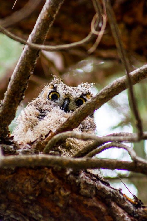 Free stock photo of animal, closeup, nature, owl