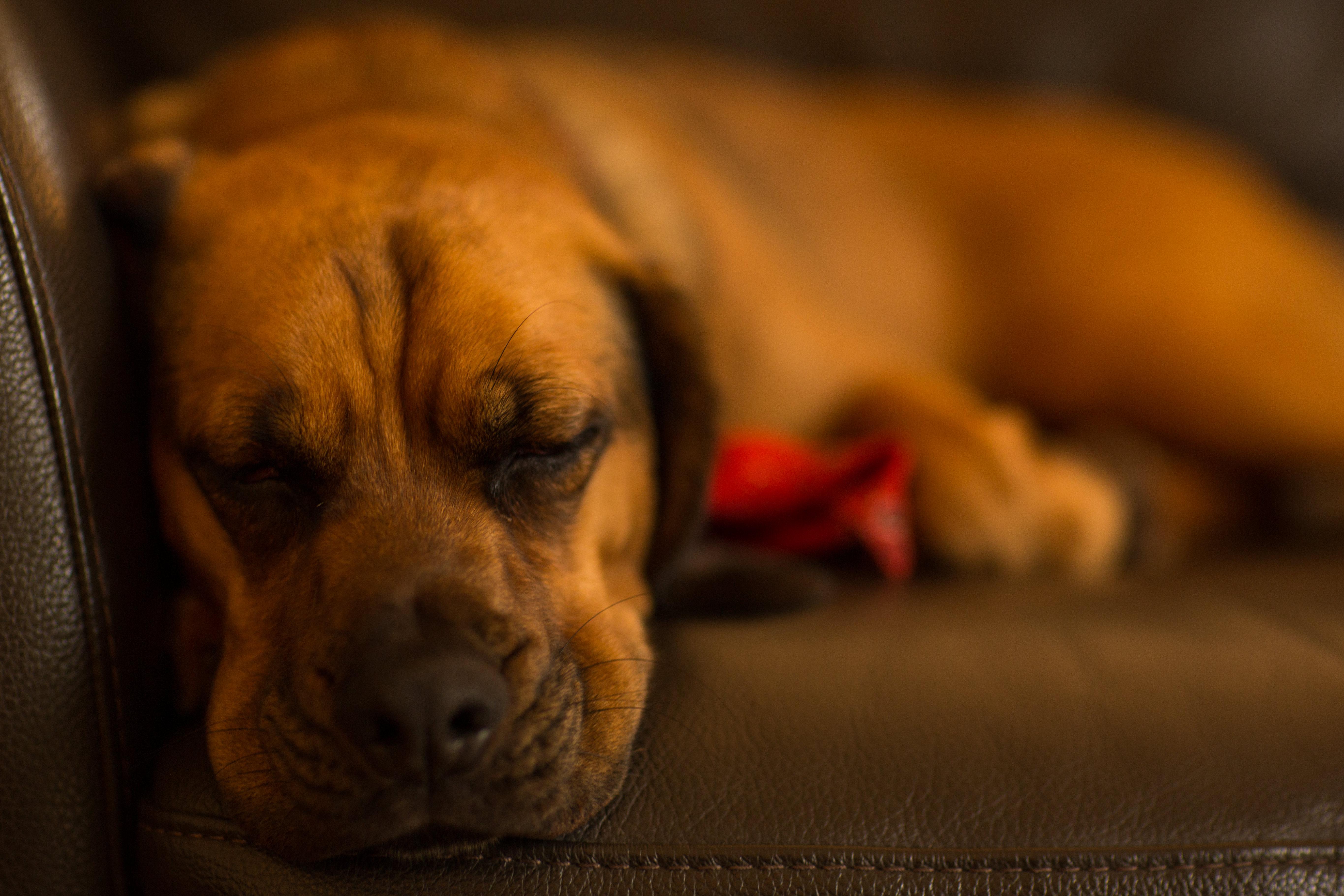 Selective Focus of Tan Dog Lying on Sofa