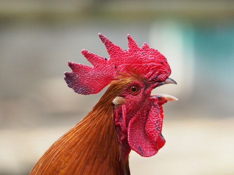 Free stock photo of animal, chicken, rooster, mohawk