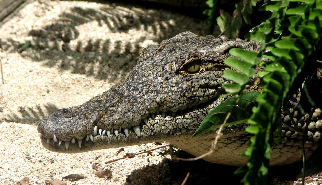 alligator, close-up, dyr