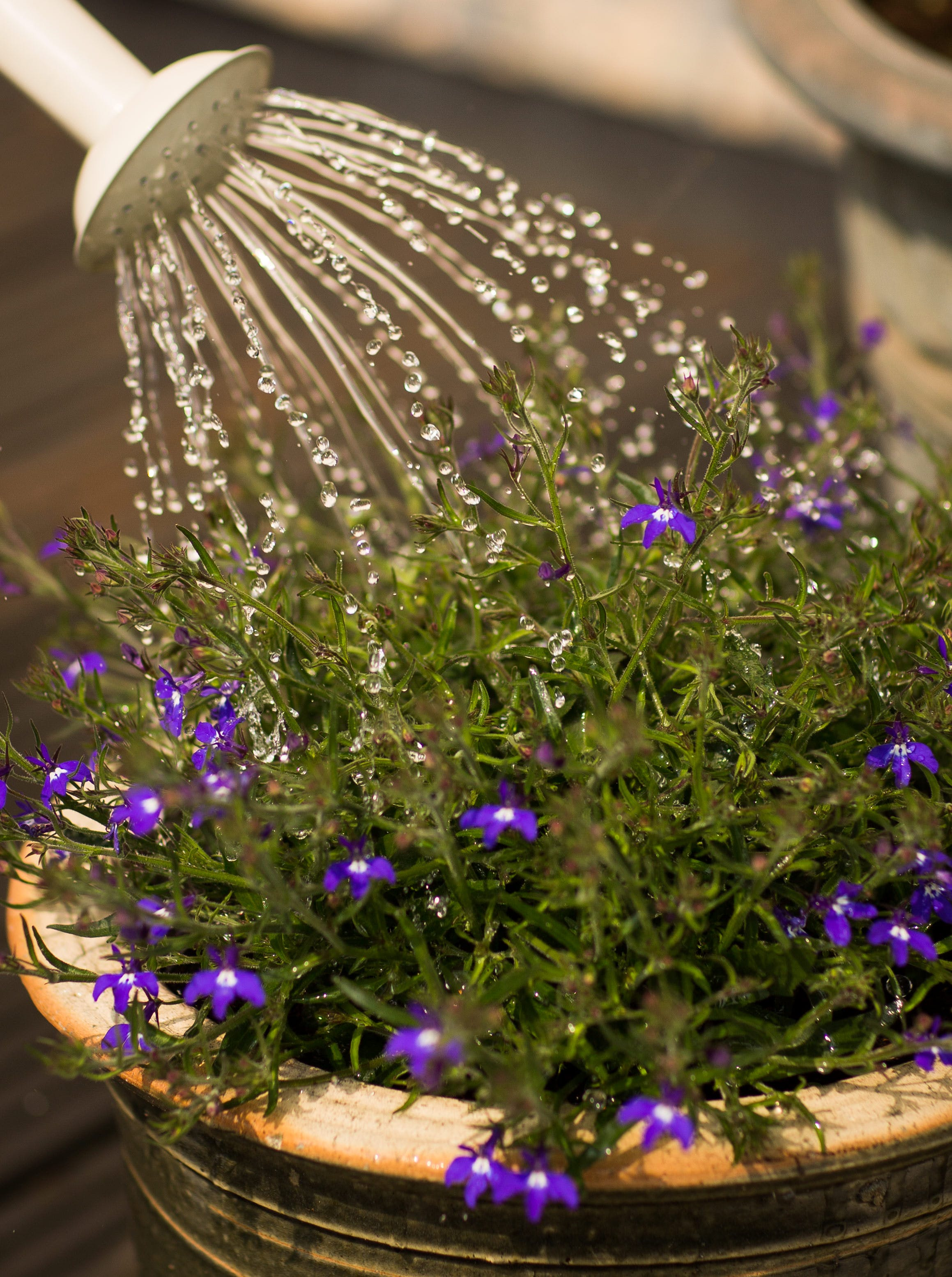 Person Watering Purple Flowering Plant