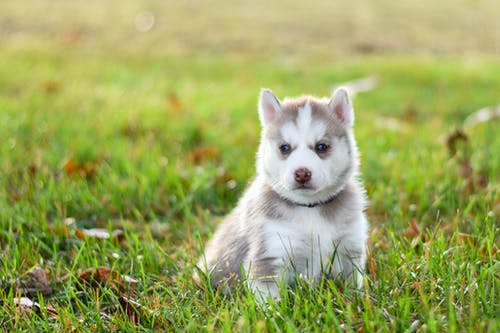 White and Gray Siberian Husky Puppy on Green Grass