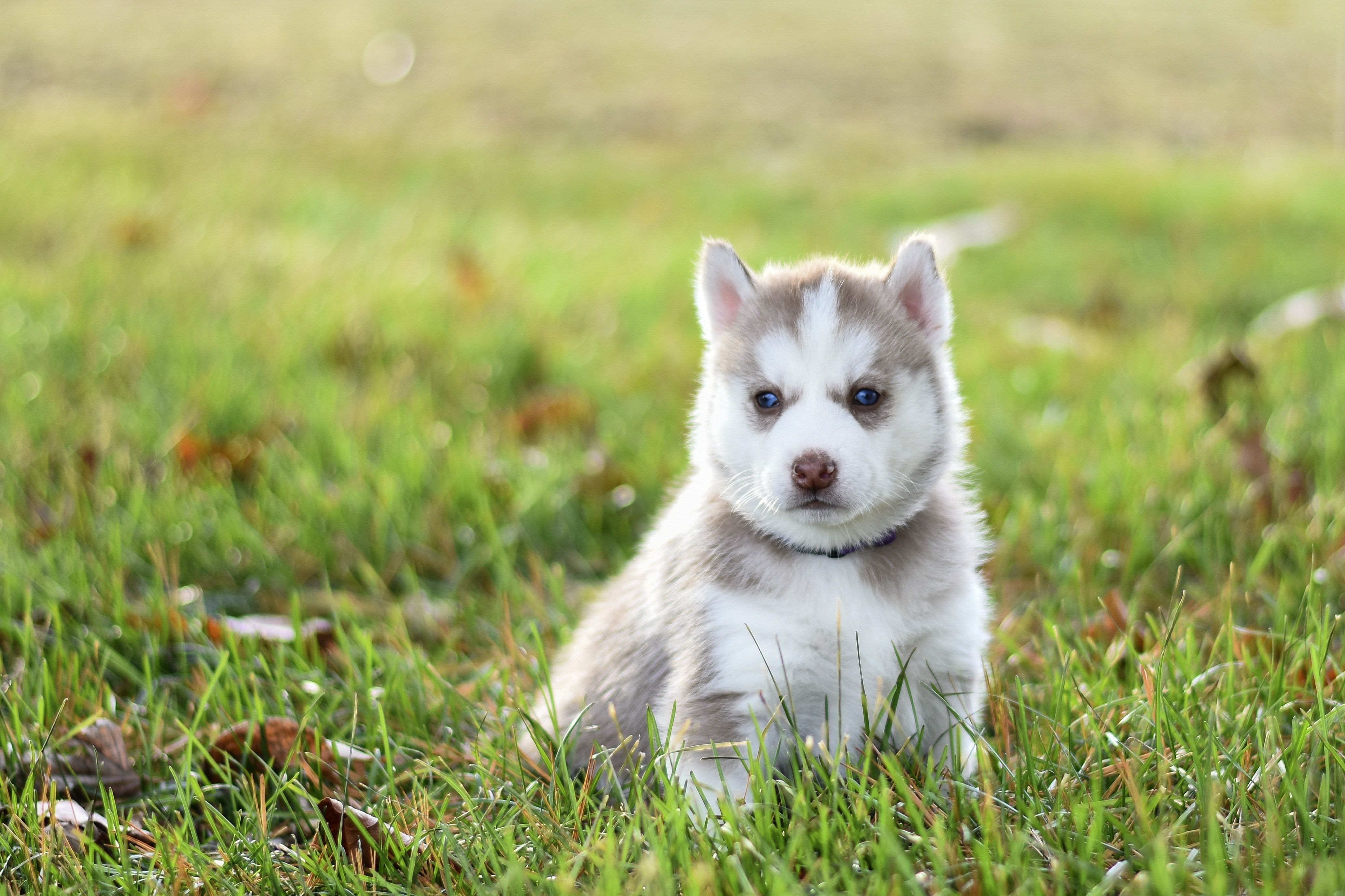 White And Gray Siberian Husky Puppy On Green Grass Free Stock Photo