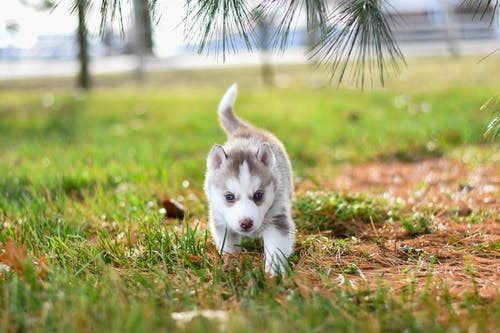 White and Gray Puppy on Grass                                                    p Grass