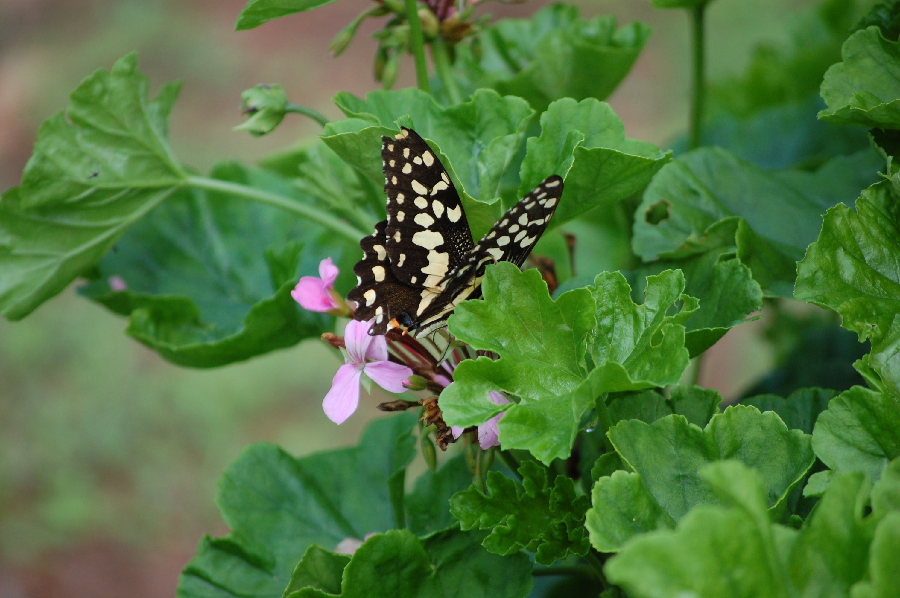 Free stock photo of butterfly, flora