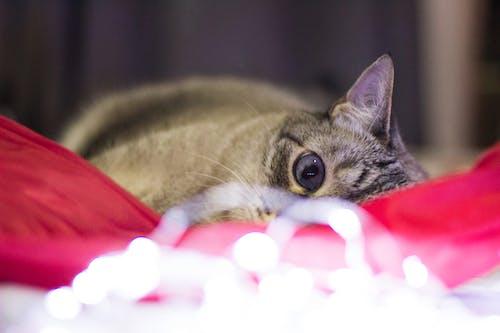 Free stock photo of animal, bicolor cat, cat