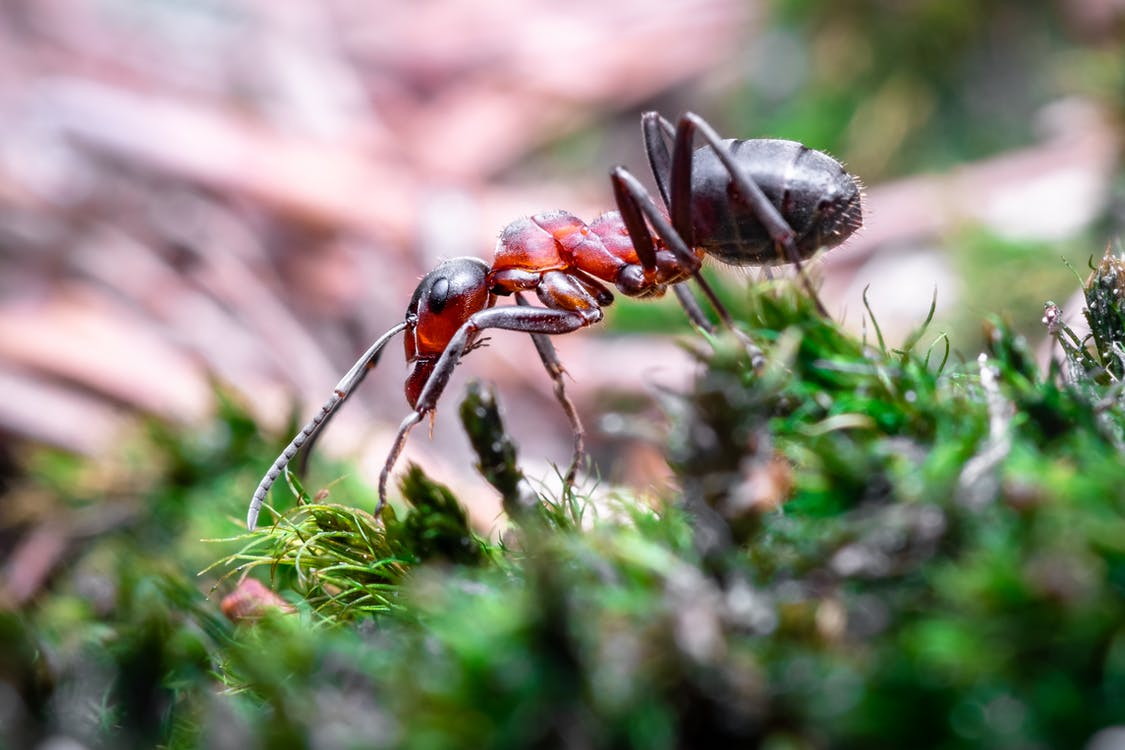 Selective Focus Photography of Fire Ant on Grass