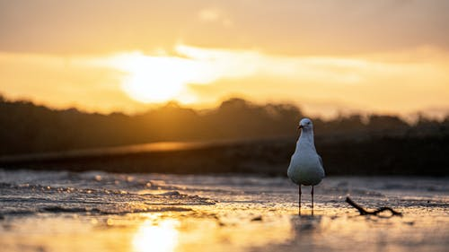Free stock photo of beach, golden hour, seagull, sunset