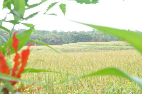 Fotos de stock gratuitas de flor en el campo de arroz