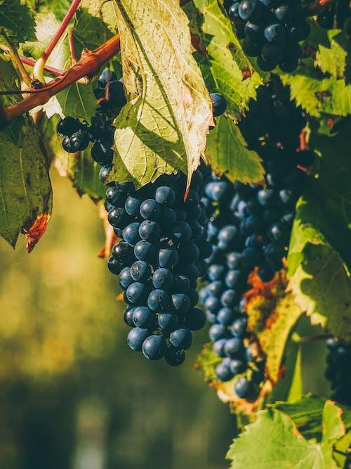 Ilmainen kuvapankkikuva tunnisteilla hedelmä, kasvikunta, kasvu