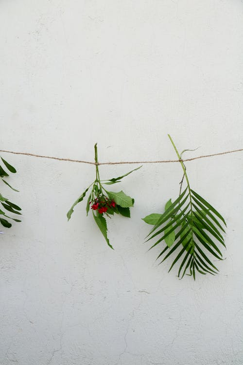 Hanging green bunches on rope