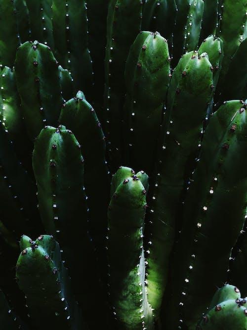 Fotos de stock gratuitas de cactus, con espinas, planta, primer plano