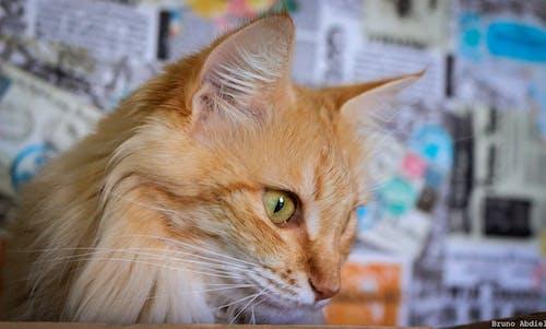 Fotobanka sbezplatnými fotkami na tému domáce zvieratá, krásny, mačiatko, mačka