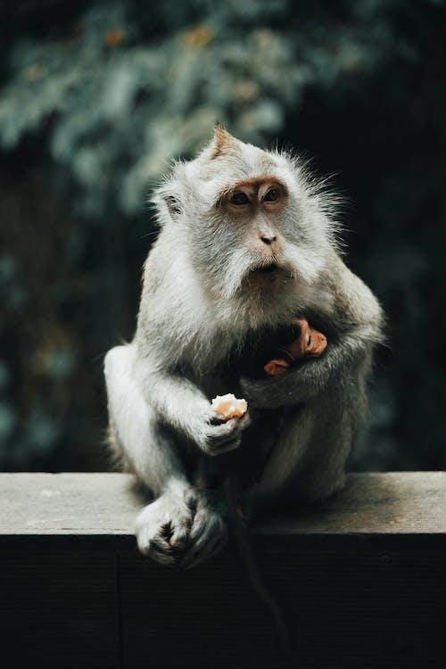 Gray and White Monkey Eating Fruit