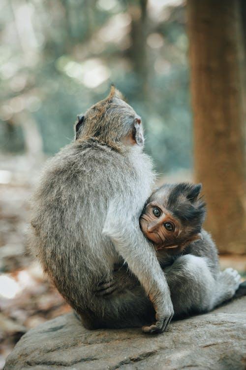 Imagine de stoc gratuită din animale, antropoidă, atenție superficială, blană