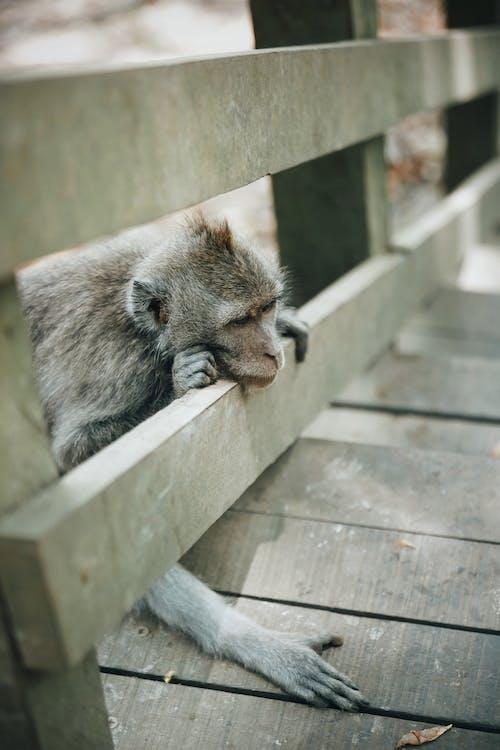 Ingyenes stockfotó állat, állatfotók, állatkert, emberszabású majom témában