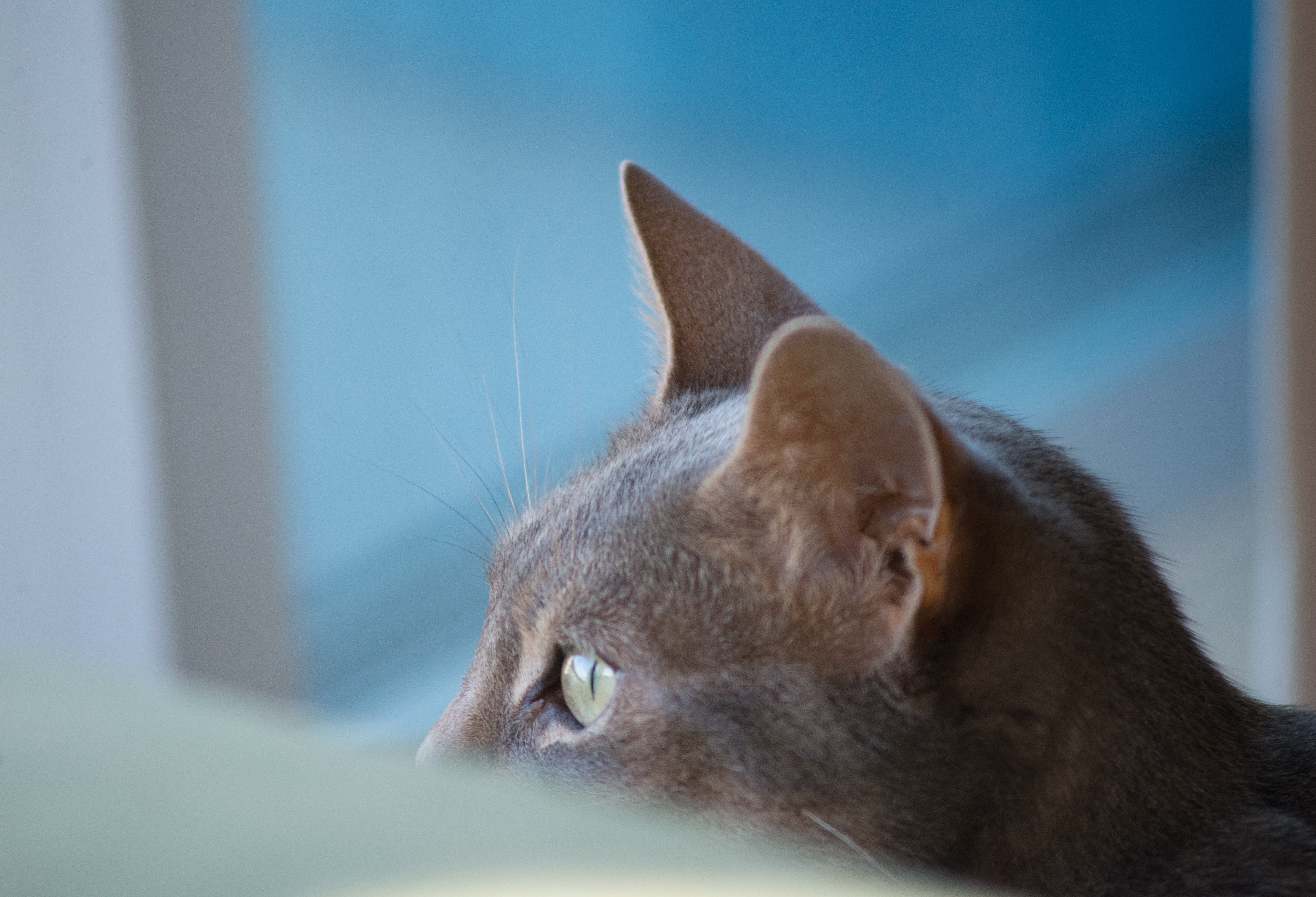 Free stock photo of billee, cat, chat, gato