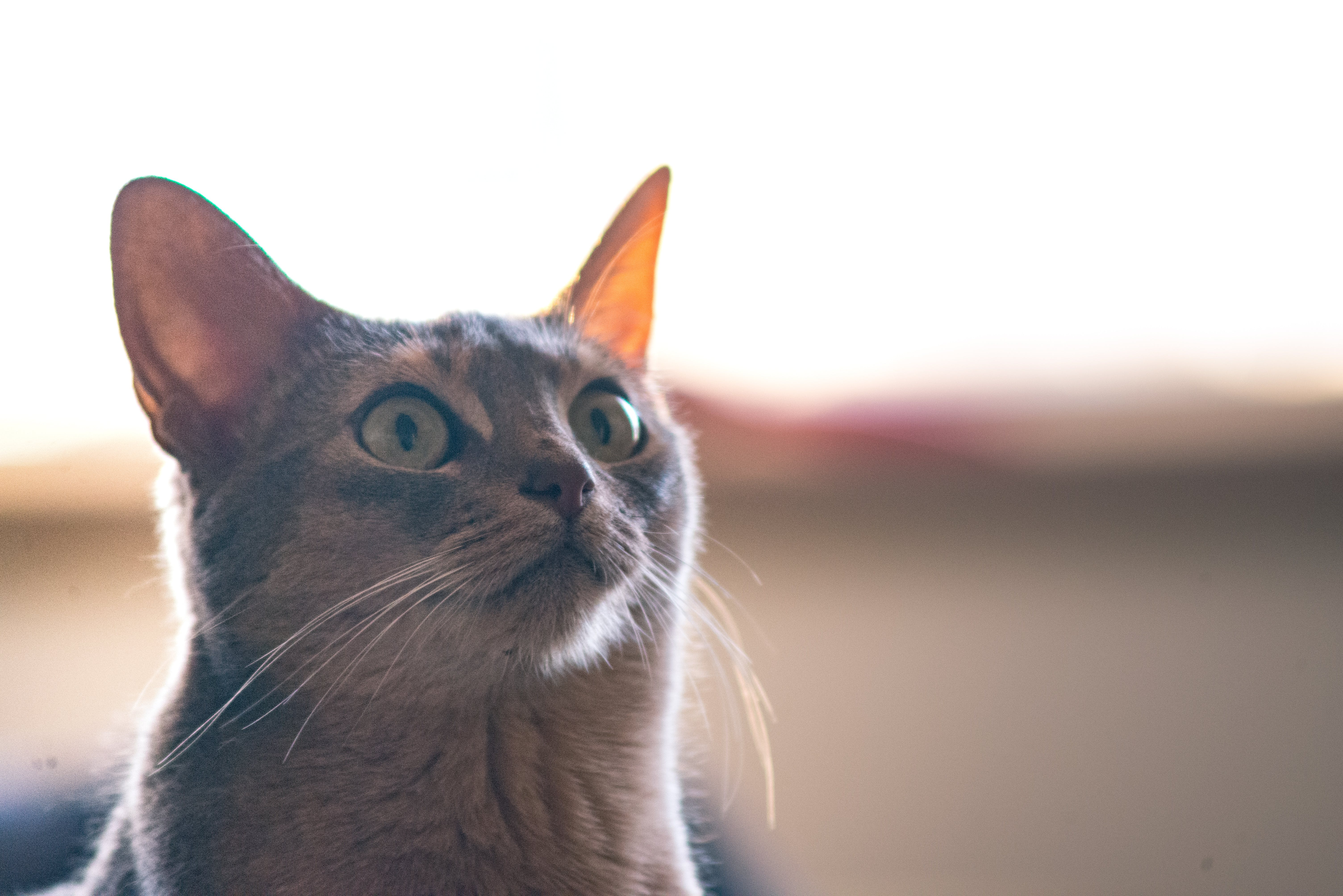 Shallow Focus of Short-coated Gray Cat