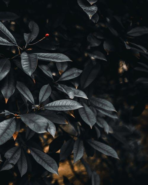 Free stock photo of black, blackleaves, leaves