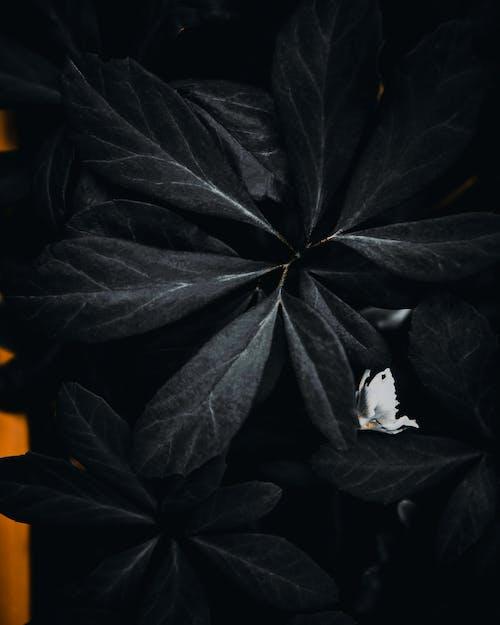 Free stock photo of black, blackleaves, darkleaves