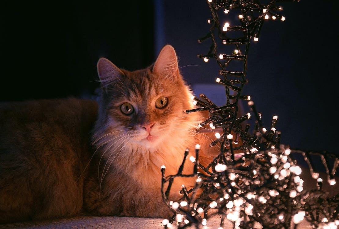 chat, hiver, illuminations de noël